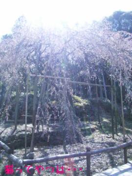 20100321_sakura.jpg