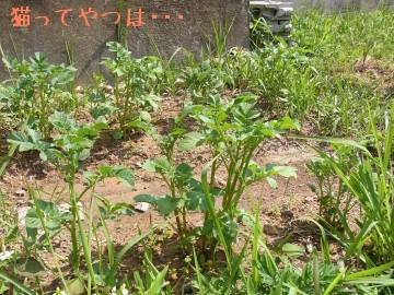 20100529_jagaimo.jpg